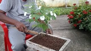 Repotting clitoria ternatea (aparajita) plant for bonsai.