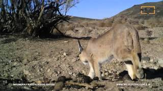 Caracal-Bafgh-Yazd-Iran by Wildlife Pictures Institute