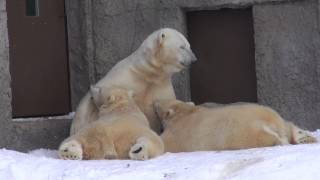 Lara nurses Marle and Porolo, her 13-month-old twin cubs at Sapporo Maruyama Zoo, Japan