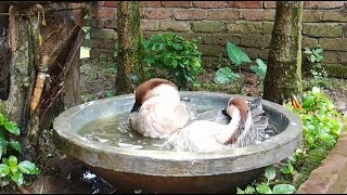 romantic and adorable couple of duck is taking bath