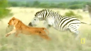 ZEBRA COUNTERATTACKS LION in a NEW LION DOCUMENTARY National Geographic (12+)