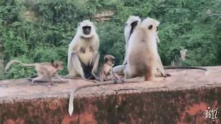 how to enjoy with monkey fun;;; xxxx Mankey mother at jaigarh in jaipur,, monkey fight
