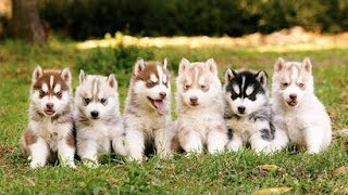 Siberian Husky Puppies Playing,Barking And Sleeping