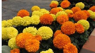 Marigold grow from cutting || गेंदा को कटिंग से उगाना
