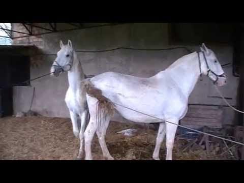 Xxx Mp4 Black Stallion Popping U Horse Mating Horse Breeding Videos Compilation 3gp Sex