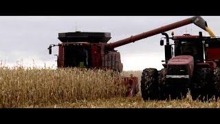 2013 North Dakota Corn Harvest with Case IH 8230 and Steiger 450