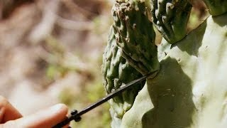 Prickly Pear | Bear Grylls: Escape From Hell