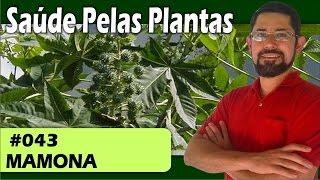 Saúde Pelas Plantas - Mamona [calvice, queda de cabelos, hemorroidas, laxante, cicatrizante]