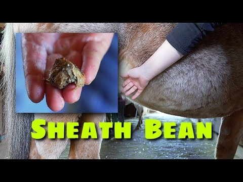 Xxx Mp4 Horse Sheath Cleaning Bean Removal And Riding Nikki 3gp Sex