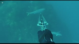 Spearfishing Victoria Kingfish Vol 1