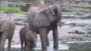 forest elephants in dzanga bai