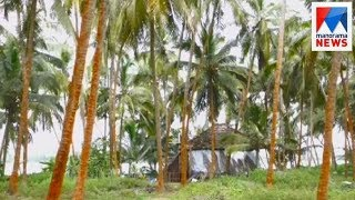 Fungal infection spreads in coconut trees in Kasargod  | Manorama News