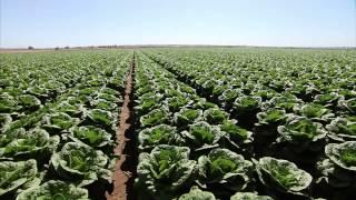 Yuma Arizona Lettuce Farm - America