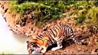 The Safari Park Bengal tiger