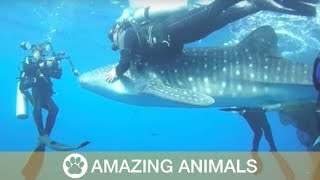 Whale Sharks Rescued From Net Play With Divers