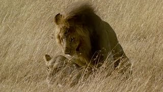 Brutal Lion Infanticide and Mating  | Battle of the Sexes In The Animal World | BBC