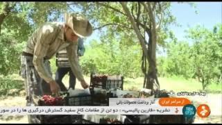 Iran Cherry harvest, Chaharmahal & Bakhtyari province برداشت گيلاس چهارمحال و بختياري ايران
