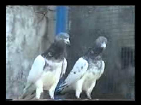 Xxx Mp4 Pakistani Pigeons Malik Usman Doga 2010 Part 2 Phon No 03009529610 03035601465 3gp Sex