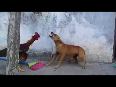 Rooster vs dog fight. Place ur bets💴💷💶