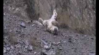 Snow Leopard-1st Kill After Being Tagged