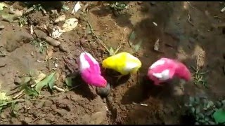 Small chicks of hen eating,FIGHTING FUNNY VIDEOS