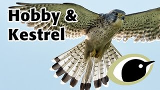 BTO Bird ID - Hobby & Kestrel