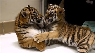 Tiger cubs meet for first time