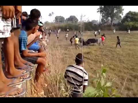Bullfights Goa