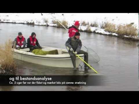 Xxx Mp4 Ribe Å Elfiskeri Efter Laks Electro Fishing For Salmon 3gp Sex
