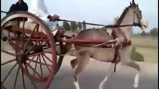 Horse Race Try Kharpur Sindh