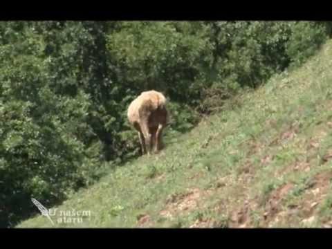 Farma ovaca Vojka Topalovica u selu Brdjani U nasem ataru 441