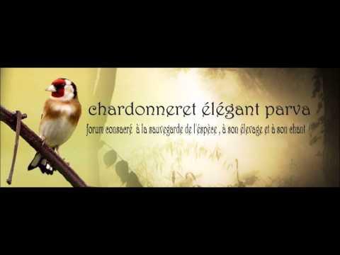 Chant Chardonneret d Algerie Parva Rec en France 2006 Top