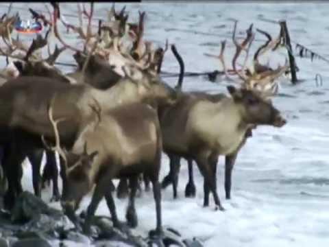 Vida Selvagem A Tundra Artica em Portugu� s de Camões