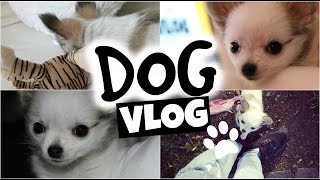 CHIHUAHUA PUPPY ! Tinkerbell´s First Days at Home - DOG VLOG 🐾