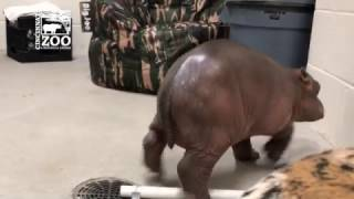 Premature Baby Hippo Takes First Steps - Cincinnati Zoo