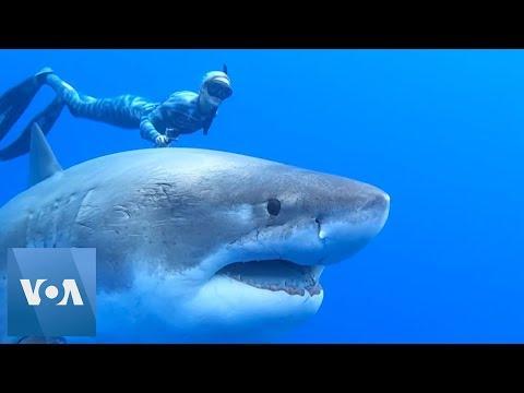 Xxx Mp4 Divers Spot Giant White Shark 3gp Sex