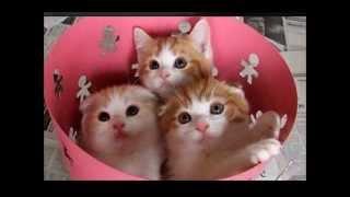 Mace (Cat)