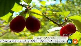 Iran Cornelian cherry harvest, West Alamout district, Qazvin province زغال اخته بخش الموت غربي قزوين