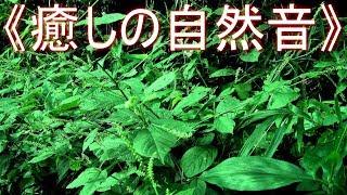《癒しの自然音》 虫 の鳴き声 夏の夜の静かな森(リフレッシュ・ストレス解消・リラックス・安らぎ・安眠・快眠・熟睡)