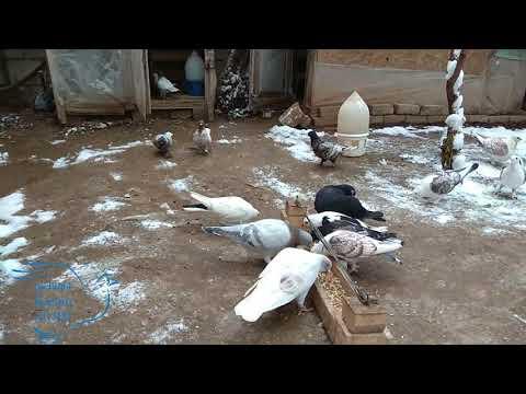 Karlı Havada Güvercinler Geziyor