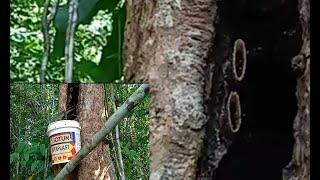 Panen Madu Lebah Kelulut Dihutan..