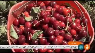 Iran Organic Cherry harvest, Larijan district برداشت گيلاس بخش لاريجان ايران