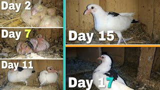 Day to Day pigeons growth progress || dubaaz breed || day 1 to day 17