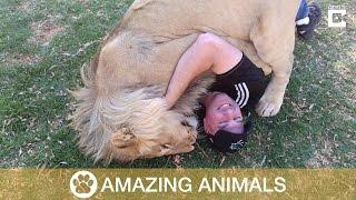 Massive Lion Hugs Tourist