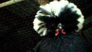 My Hen, Black Beak