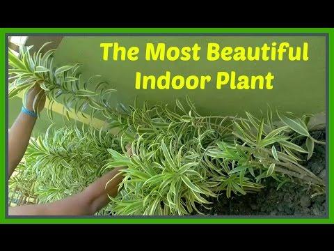 The Most Beautiful Indoor Plant. Dracaena reflexa, Pleomele, Song of India # Bangla