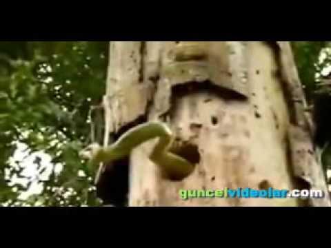 Ağaçkakan İle Yılanın Amansız Mücadelesi