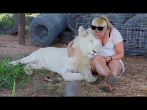 Walking with Lions and Swimming with Tigers in South Africa