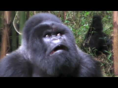 Xxx Mp4 Mating Gorillas 3gp Sex