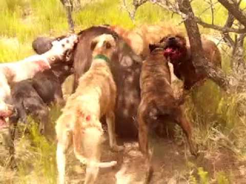 cazando con chirola y tineli y jauria la lata 27 11 2011